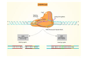 Adobe Stock Figure showing the CRISPR-Cas9 System