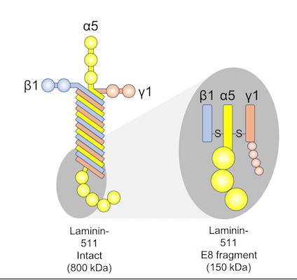 Laminin-511-E8_fragment-1