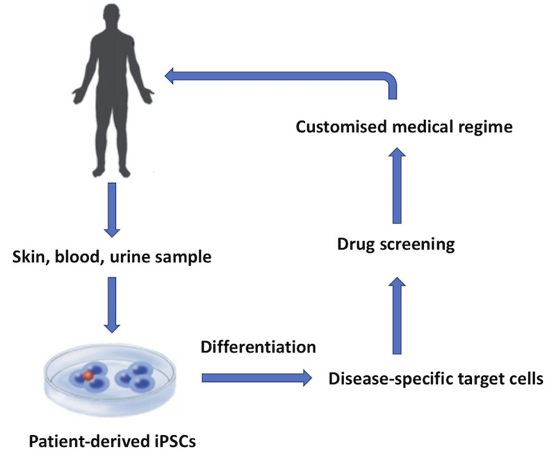 A This flow diagram shows a basic workflow of some of the key applications for clinical iPSCs.