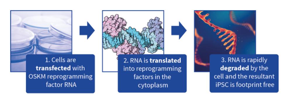 Diagram of RNA reprogramming protocol