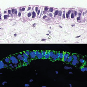 alvetex-caco2-ccd18-int-mucosa