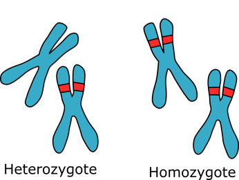 An illustration of homozgous and heterozygous chromosomes