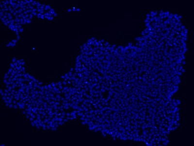 Stem cells stained using DAPI